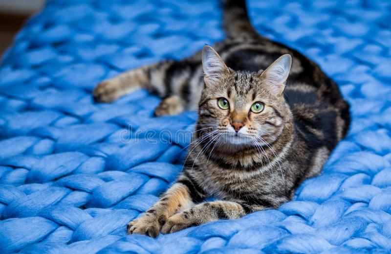 Gray striped cat on a blue knitted background. Beautiful adult cat. Gray and brown striped cat on a blue knitted blanket background in sunlight. Pet on the bed royalty free stock photos