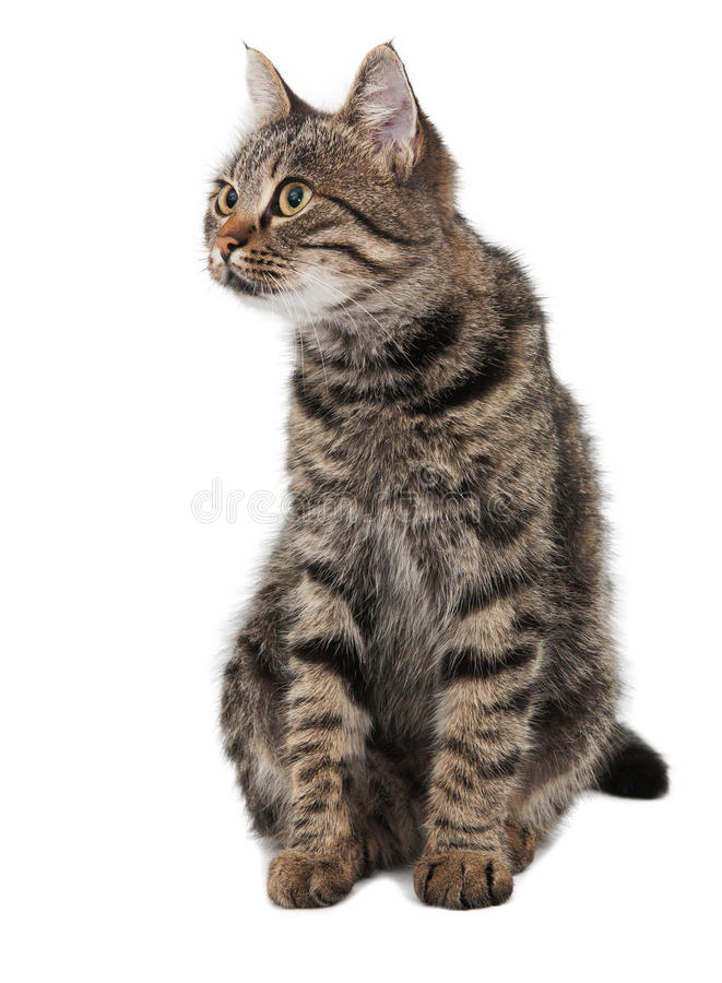Free Gray Striped Cat Looking Left Royalty Free Stock Photos - 27376748
