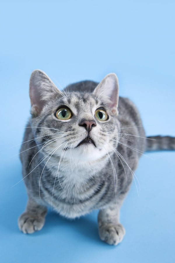 Download Gray Striped Cat Looking Up. Stock Image - Image of color, hair: 2037911