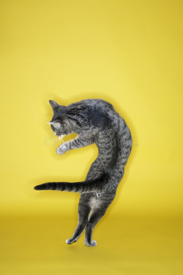 Gray striped cat twisting in air. Gray striped cat twisting in air on yellow background royalty free stock photos