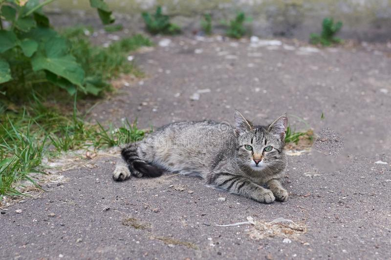 Gray-striped homeless cat lying on the street on the asphalt. For any purpose stock image