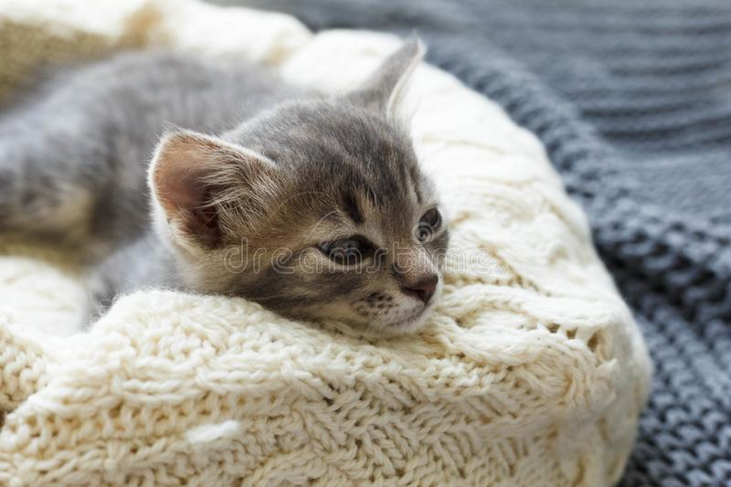 Gray striped kitty sleeps on knitted woolen beige plaid. Little cute fluffy cat. Cozy home.  royalty free stock photo