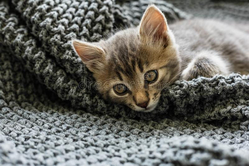 Gray striped kitty sleeps on knitted woolen gray plaid. Little cute fluffy cat. Cozy home.  stock photography