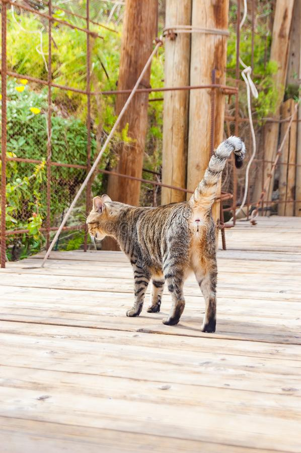 Gray striped street cat walking on wooden planks floor outdoors in Eilat. Israel royalty free stock photo