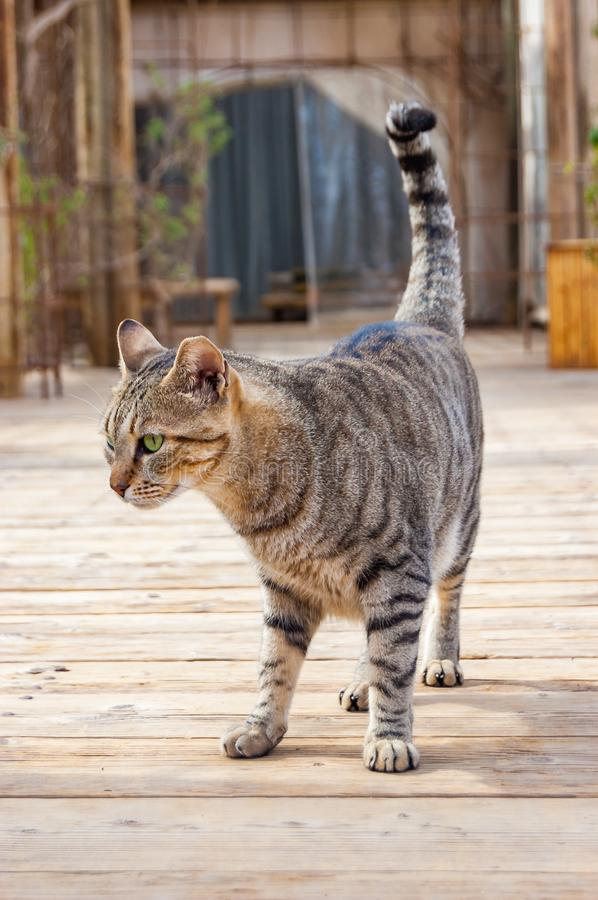 Gray striped street cat walking on wooden planks floor outdoors in Eilat. Israel royalty free stock photos