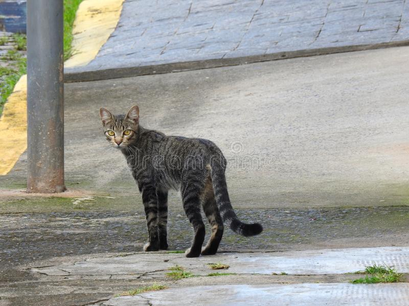 A gray and striped street cat with yellow eyes staring at the photographer on a sidewalk. A gray and striped street cat with yellow eyes staring at the stock photo
