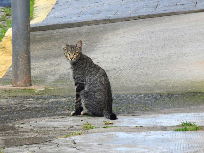 A gray and striped street cat with yellow eyes staring at the photographer on a sidewalk. A gray and striped street cat with yellow eyes staring at the stock image