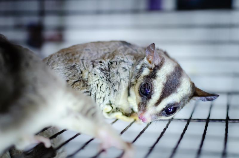 Gray sugar glider. Petaurus breviceps arboreal gliding possum. Exotic animals in the human environment. royalty free stock photos