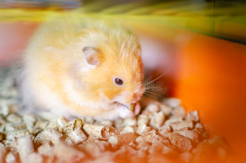 Red hamster in a cage. stock photo
