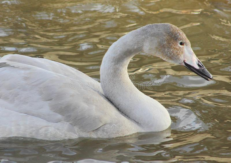 The gray Swan floats on the surface of the water, waterfowl in winter, royalty free stock image