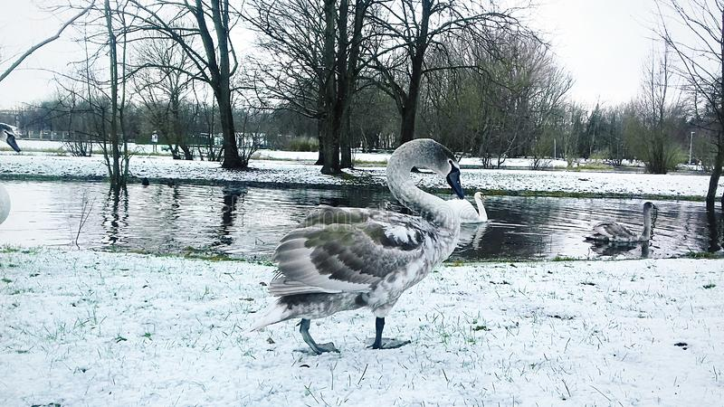 Gray swan walks along the shore of the reservoir royalty free stock photography