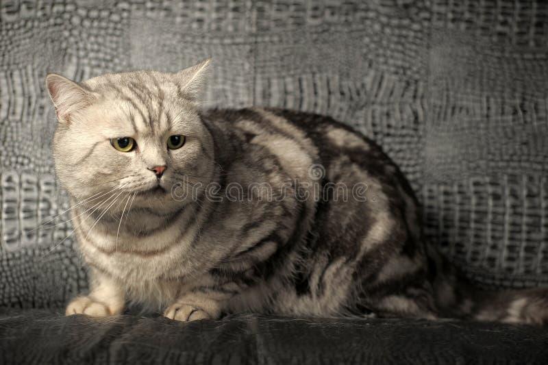 Gray tabby british cat royalty free stock photo