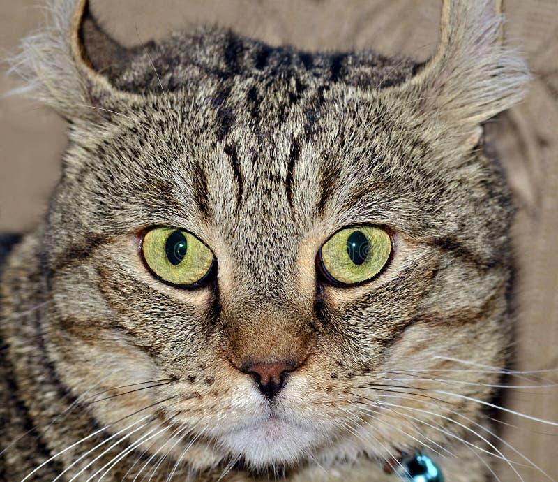 Gray Tabby Cat Expression image libre de droits