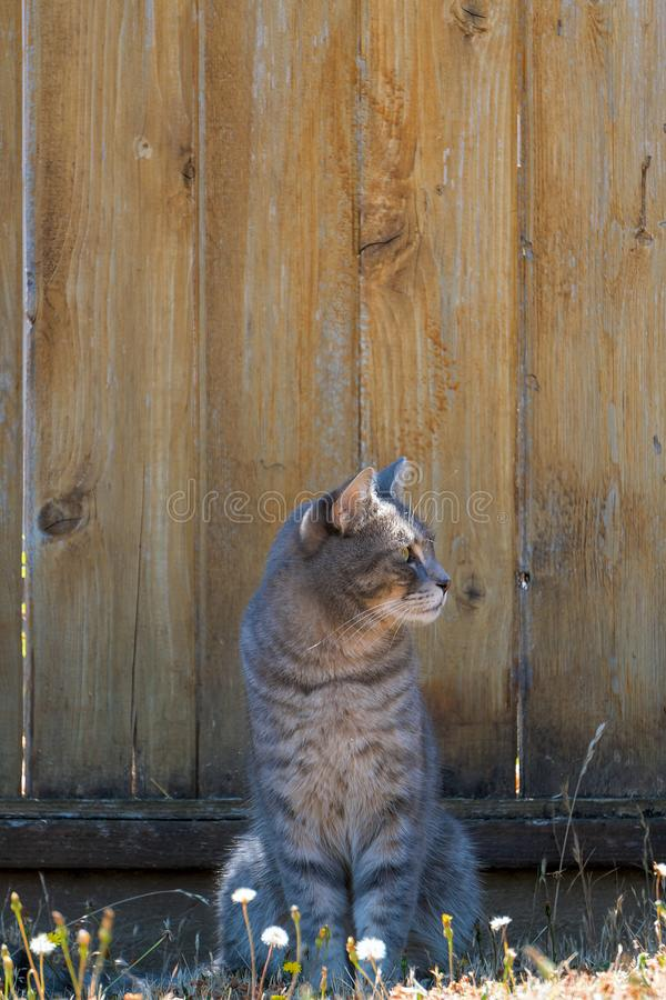 Gray Tabby Cat by Fence Looking Sideways. Gray Tabby Cat sitting by the fence in the garden looking sideway royalty free stock photo