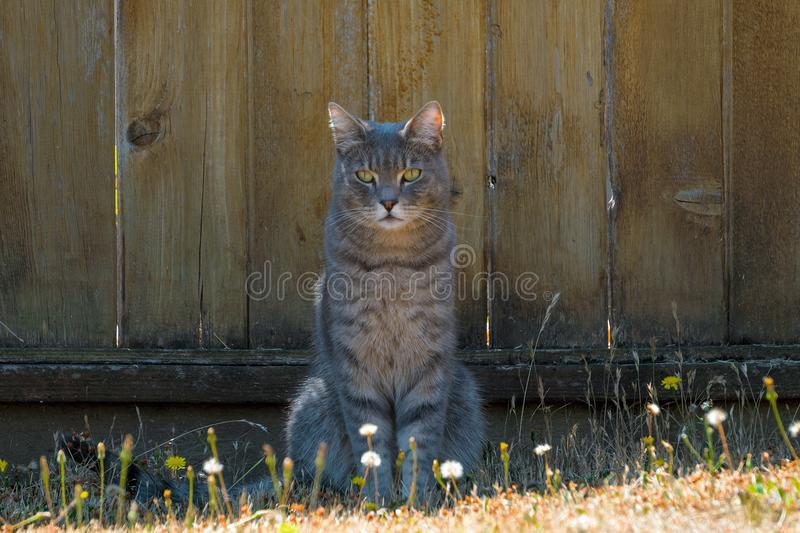 Gray Tabby Cat Sitting by Fence. Gray Tabby Cat sitting by the fence in the garden stock photo