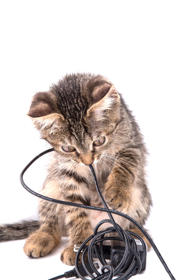 Gray tabby kitten chews on the charger cable on white background. Small gray tabby kitten chews on the charger cable on white background stock photography