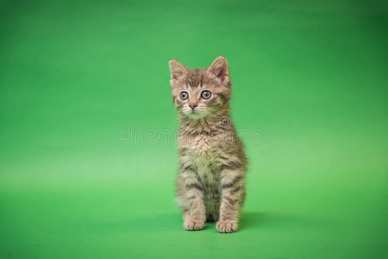 Gray Tabby Kitten on Green background. With blue eyes royalty free stock photo