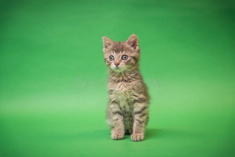 Gray Tabby Kitten su fondo verde fotografia stock libera da diritti