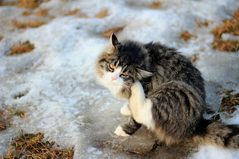 Gray Tabby Kitten with White. A gray and white tabby scratching her ear. Sitting on a patch of snow stock photography
