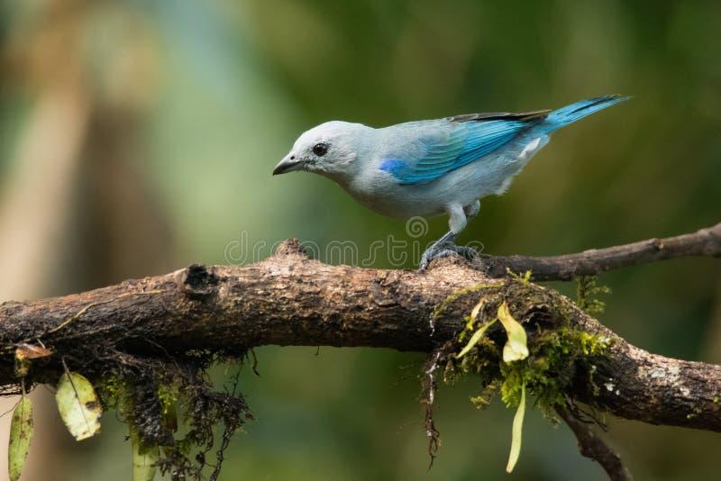 Gray Tanager azul foto de stock