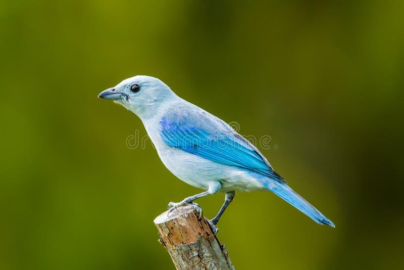 Gray Tanager bleu image stock