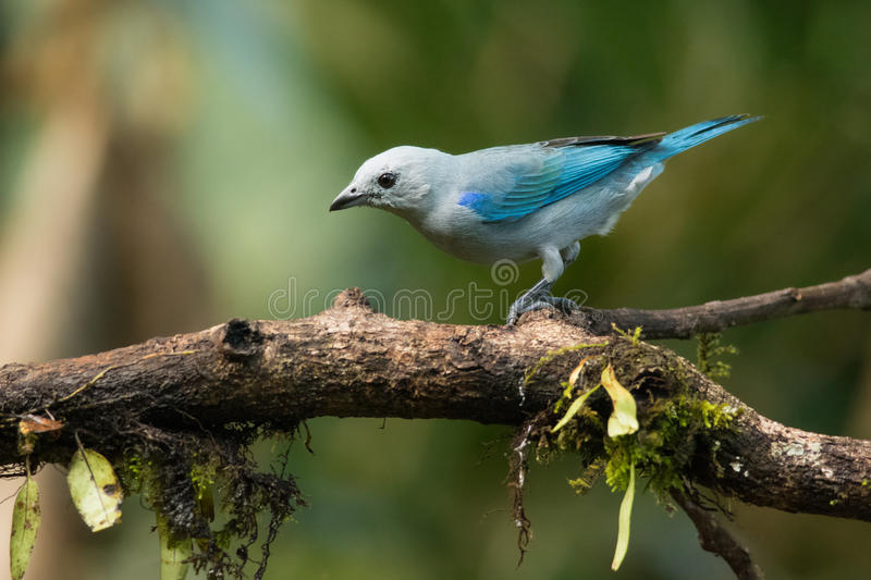 Gray Tanager blu fotografia stock