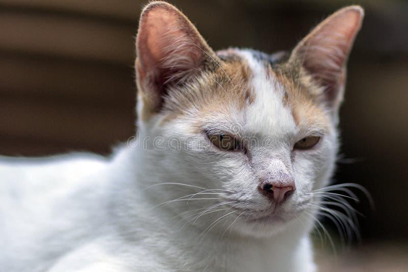 Gray Thai Cat stock afbeeldingen