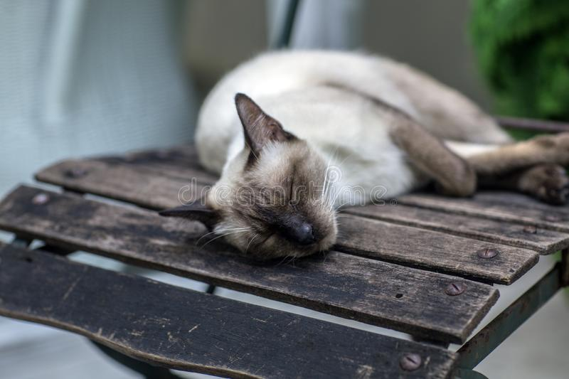 Gray Thai Cat imagens de stock royalty free