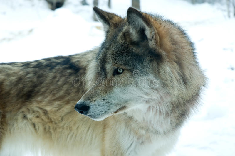 Gray or Timber Wolf. The gray wolf or grey wolf (Canis lupus), often known simply as the wolf, is the largest extant wild member of the Canidae family royalty free stock photo