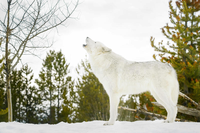 Gray timber wolf howling in winter forest royalty free stock image
