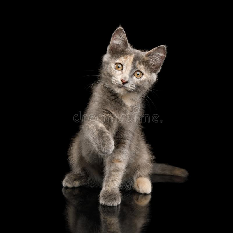 Gray Tortoise Kitten op Zwarte Achtergrond stock foto's