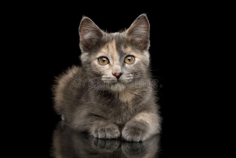 Gray Tortoise Kitten op Zwarte Achtergrond stock afbeeldingen
