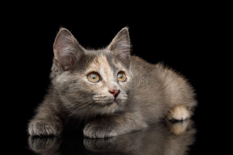 Gray Tortoise Kitten op Zwarte Achtergrond royalty-vrije stock afbeelding