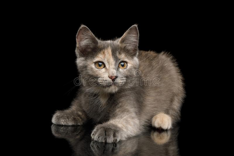 Gray Tortoise Kitten op Zwarte Achtergrond royalty-vrije stock afbeeldingen