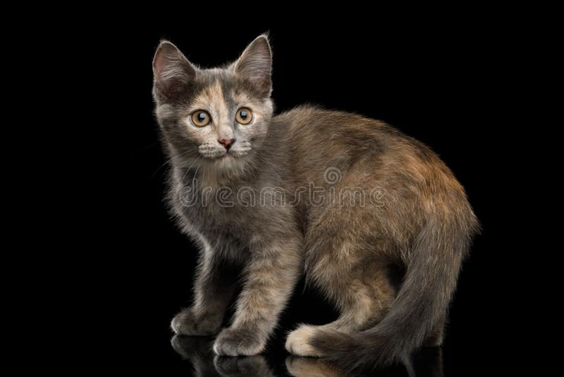 Gray Tortoise Kitten op Zwarte Achtergrond stock foto