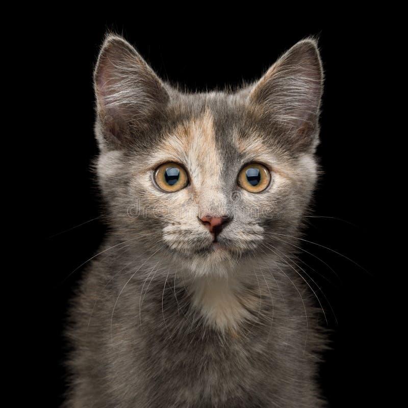 Gray Tortoise Kitten op Zwarte Achtergrond royalty-vrije stock foto