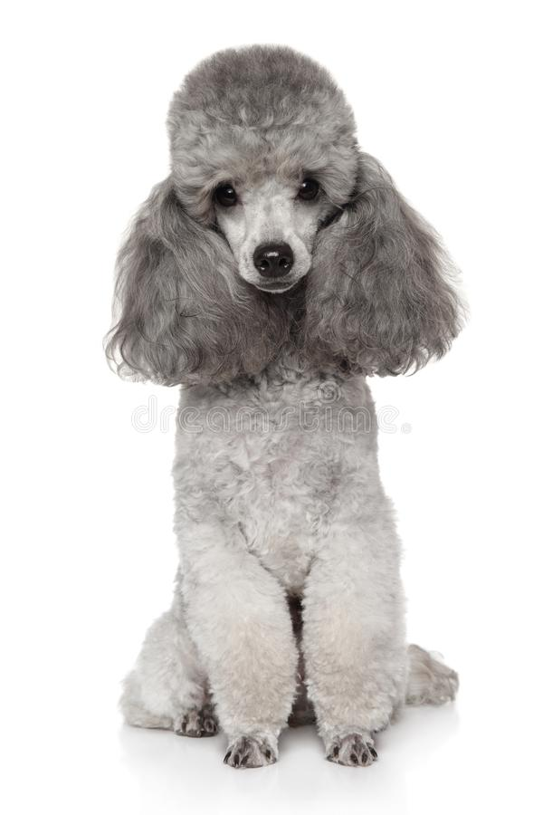 Gray Toy Poodle dog on a white. Portrait of Gray Toy Poodle on a white background. Funny royalty free stock photo
