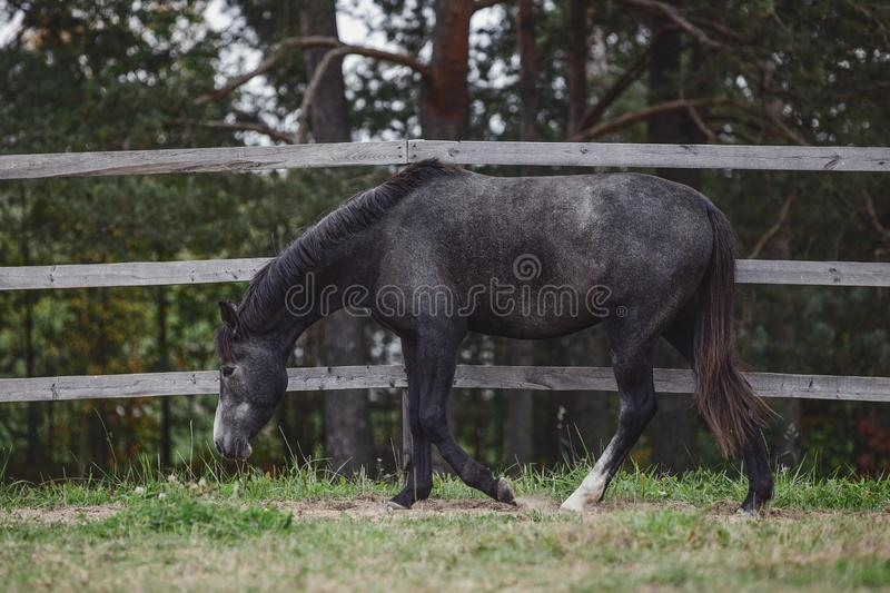 Gray trakehner mare horse walking in paddock along the fence in autumn stock images