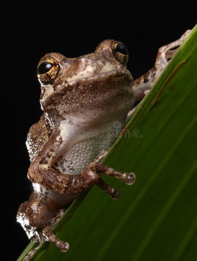 Gray Tree Frog Animal stock photography