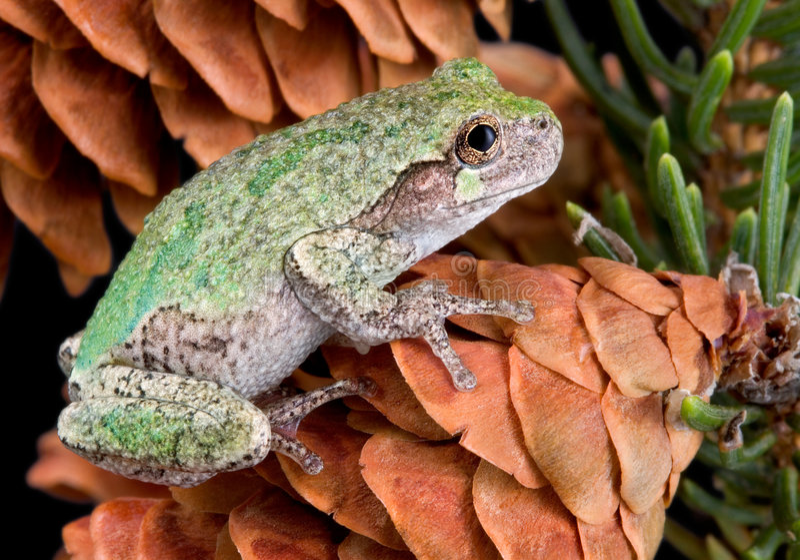 Gray tree frog on pine cone stock photos