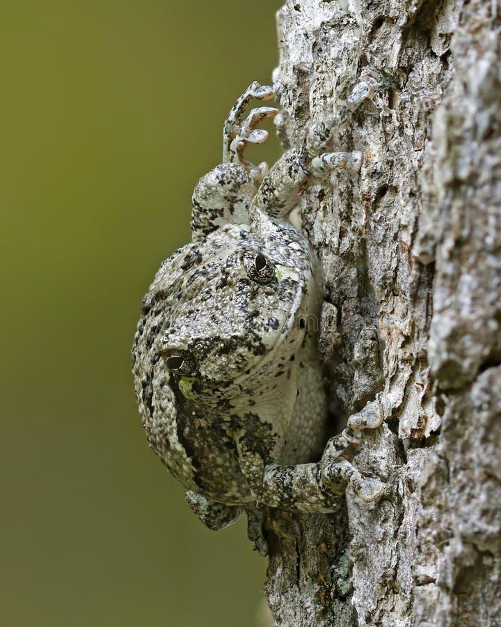 Gray Tree Frog que mezcla adentro con un roble blanco fotografía de archivo libre de regalías