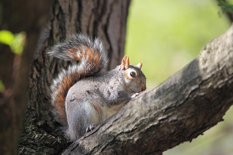Gray tree squirrel stock image