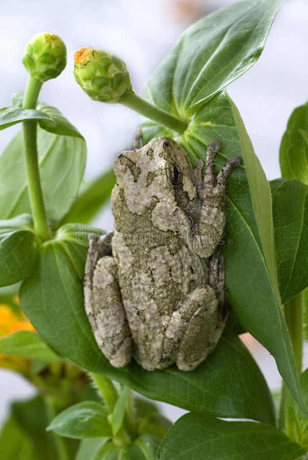 Gray Treefrog (Hyla Chrysoscelis) Royalty Free Stock Photo