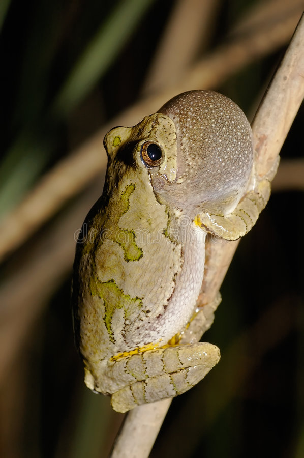 Download Gray Treefrog (Hyla Versicolor) Royalty Free Stock Images - Image: 7516279