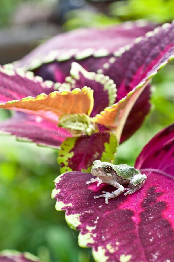 Gray Treefrog Metamorph stock afbeeldingen
