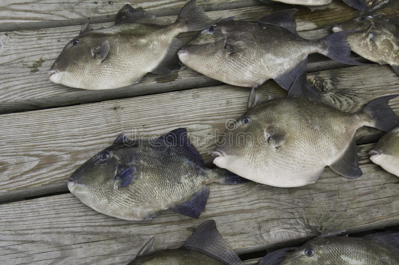Download Gray Trigger Fish Caught By Sport Fishermen Royalty Free Stock Image - Image: 10704696