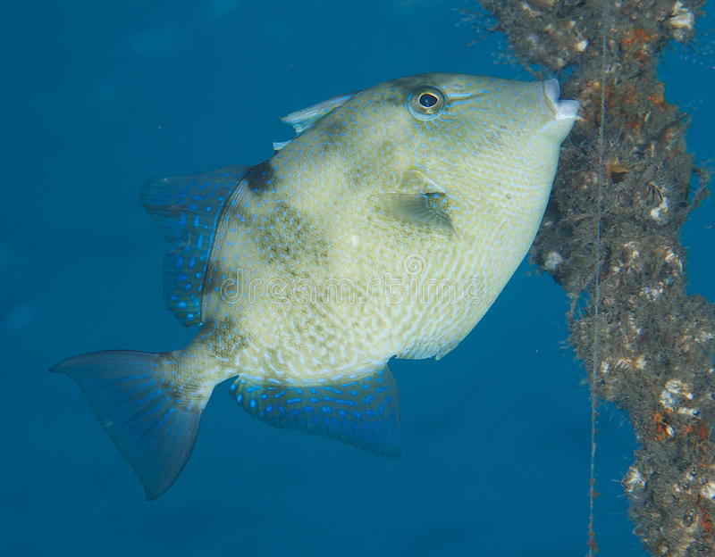Gray Triggerfish. Balistes capriscus, picture taken in Palm Beach County Florida royalty free stock images