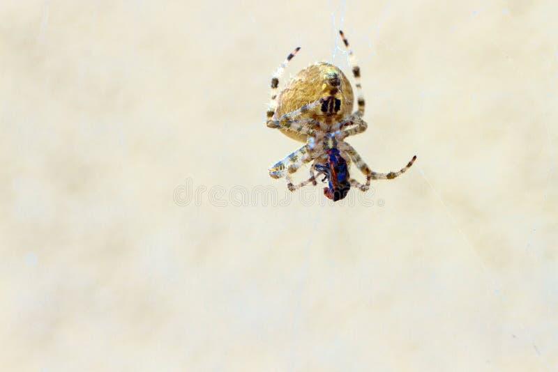 Gray Wall Jumper Spider lizenzfreies stockfoto