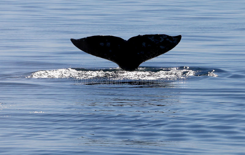 Gray Whale Tail Flukes royalty free stock image