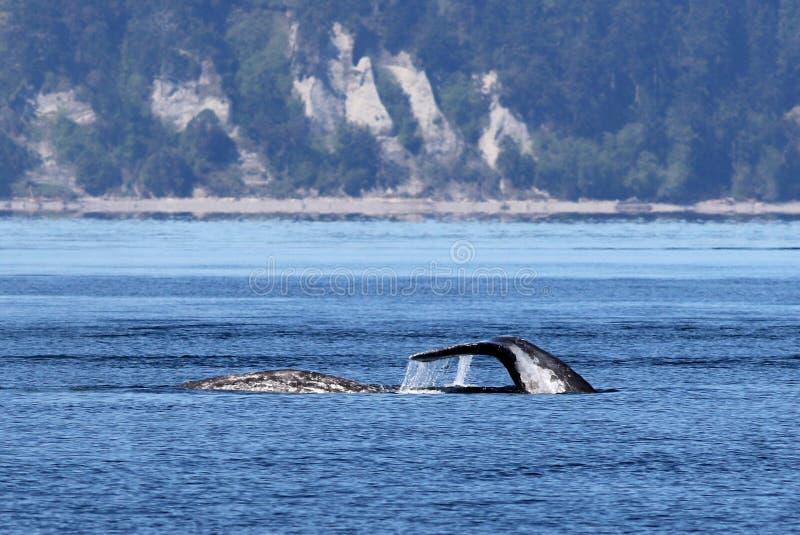 Gray Whales dans Puget Sound photo libre de droits